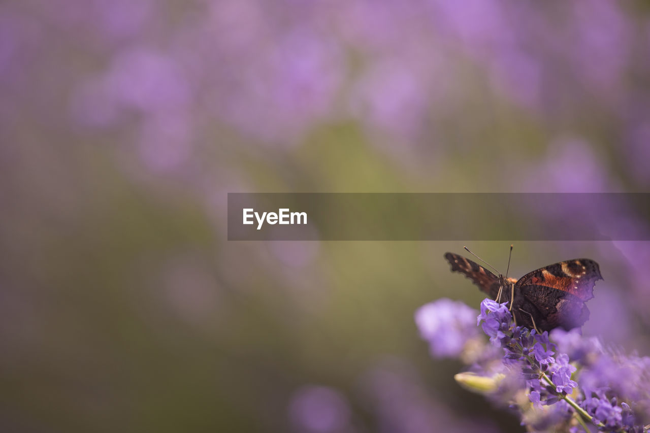invertebrate, one animal, insect, flower, animal themes, animals in the wild, animal, flowering plant, animal wildlife, beauty in nature, close-up, fragility, plant, vulnerability, selective focus, petal, purple, nature, day, no people, flower head, pollination, animal wing, outdoors, butterfly - insect