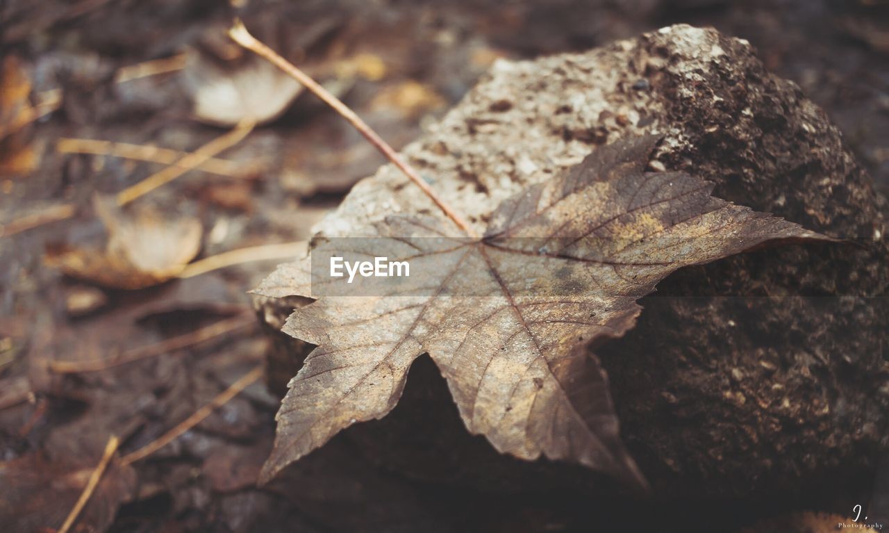leaf, autumn, dry, change, nature, day, close-up, outdoors, maple, fallen, maple leaf, no people, fragility