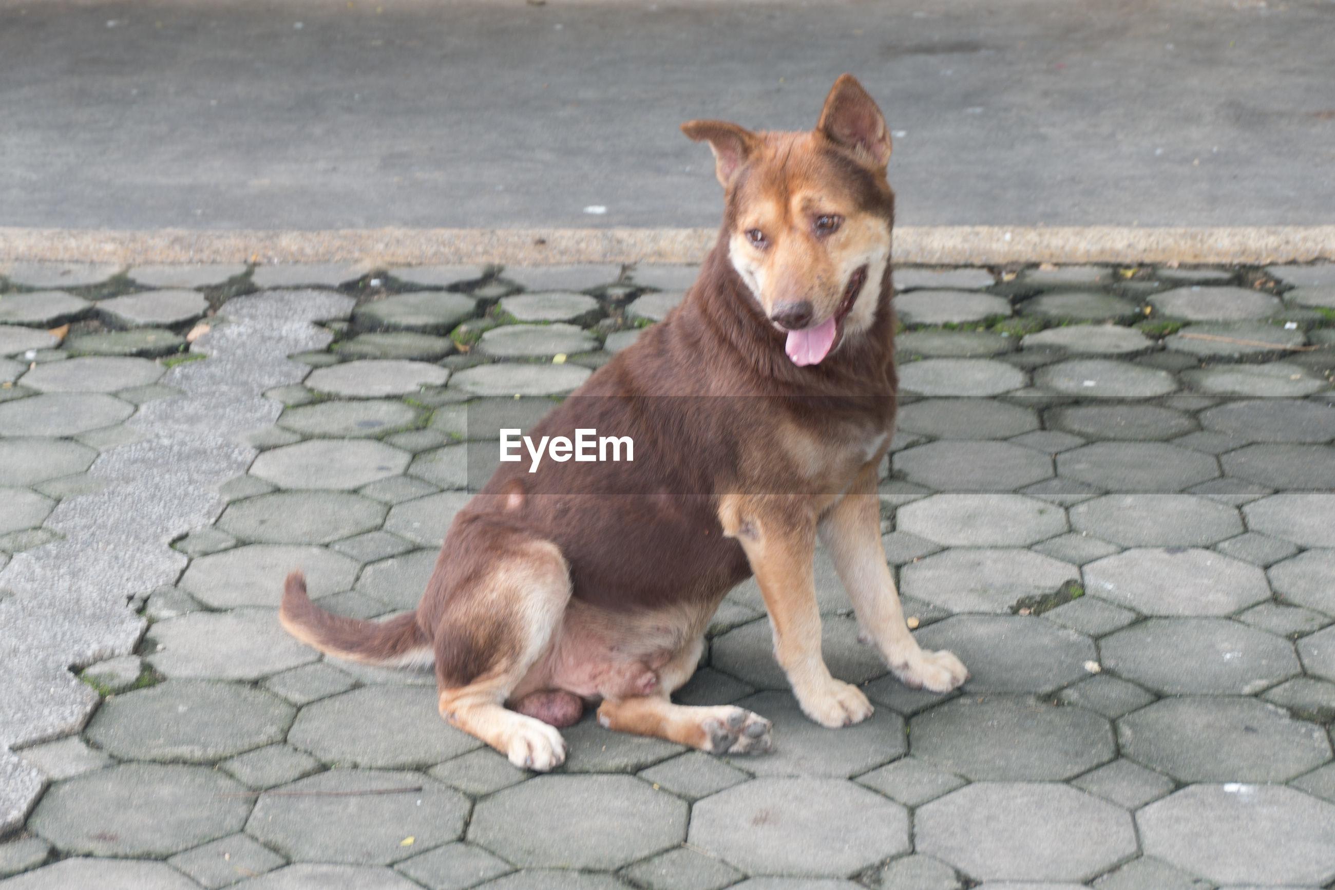 VIEW OF DOG IN COBBLESTONE