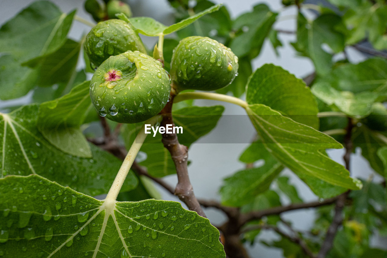 green color, leaf, plant part, growth, plant, close-up, nature, focus on foreground, freshness, day, beauty in nature, food, food and drink, no people, fruit, outdoors, healthy eating, tree, green, leaf vein