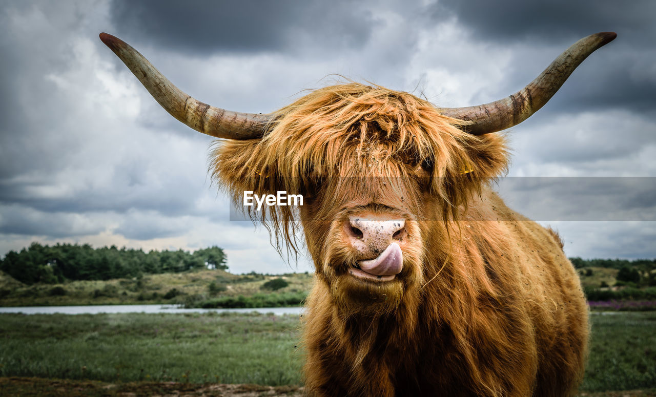 Close-Up Of Highland Cattle On Field Against Cloudy Sky