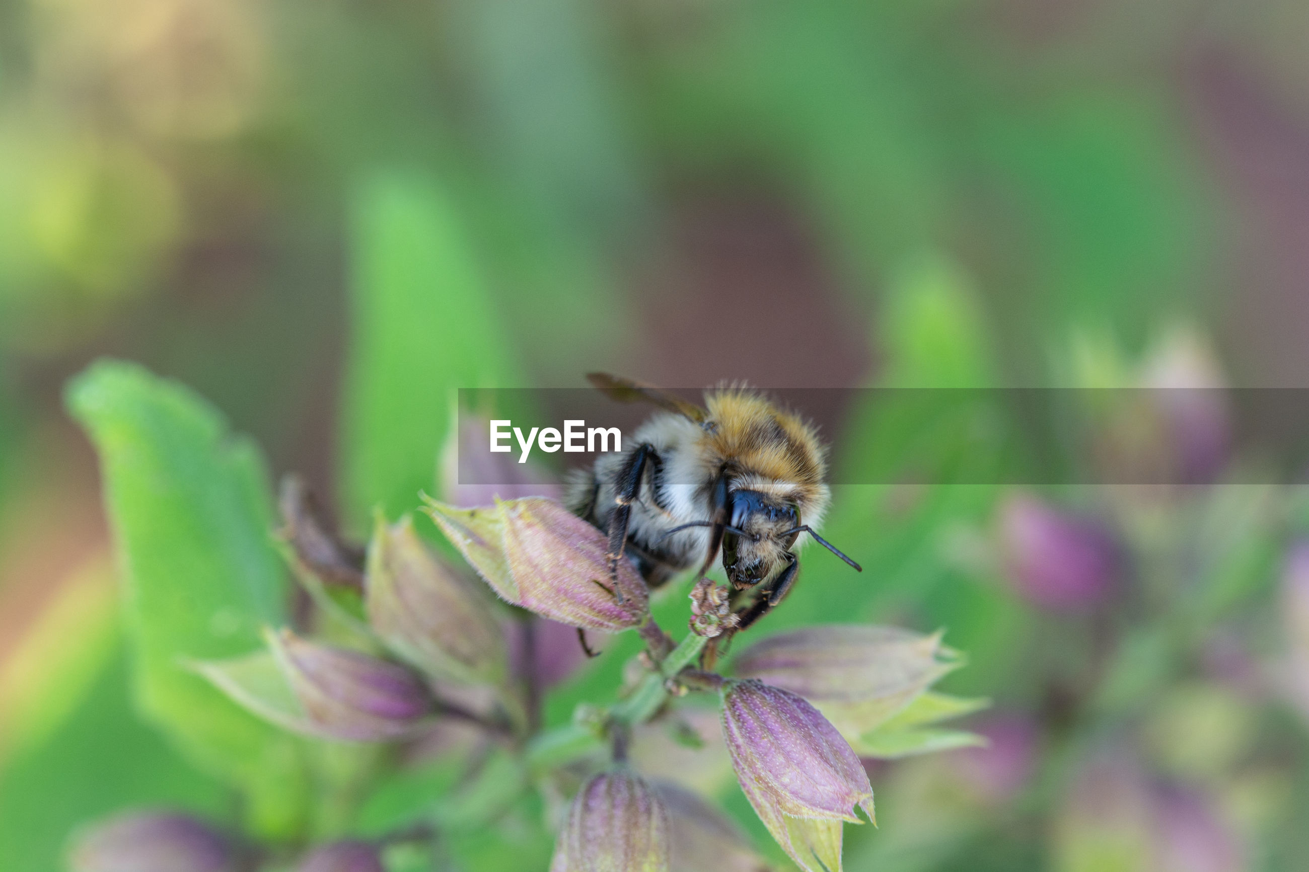 Close-up of bumblebee pollinating on flower