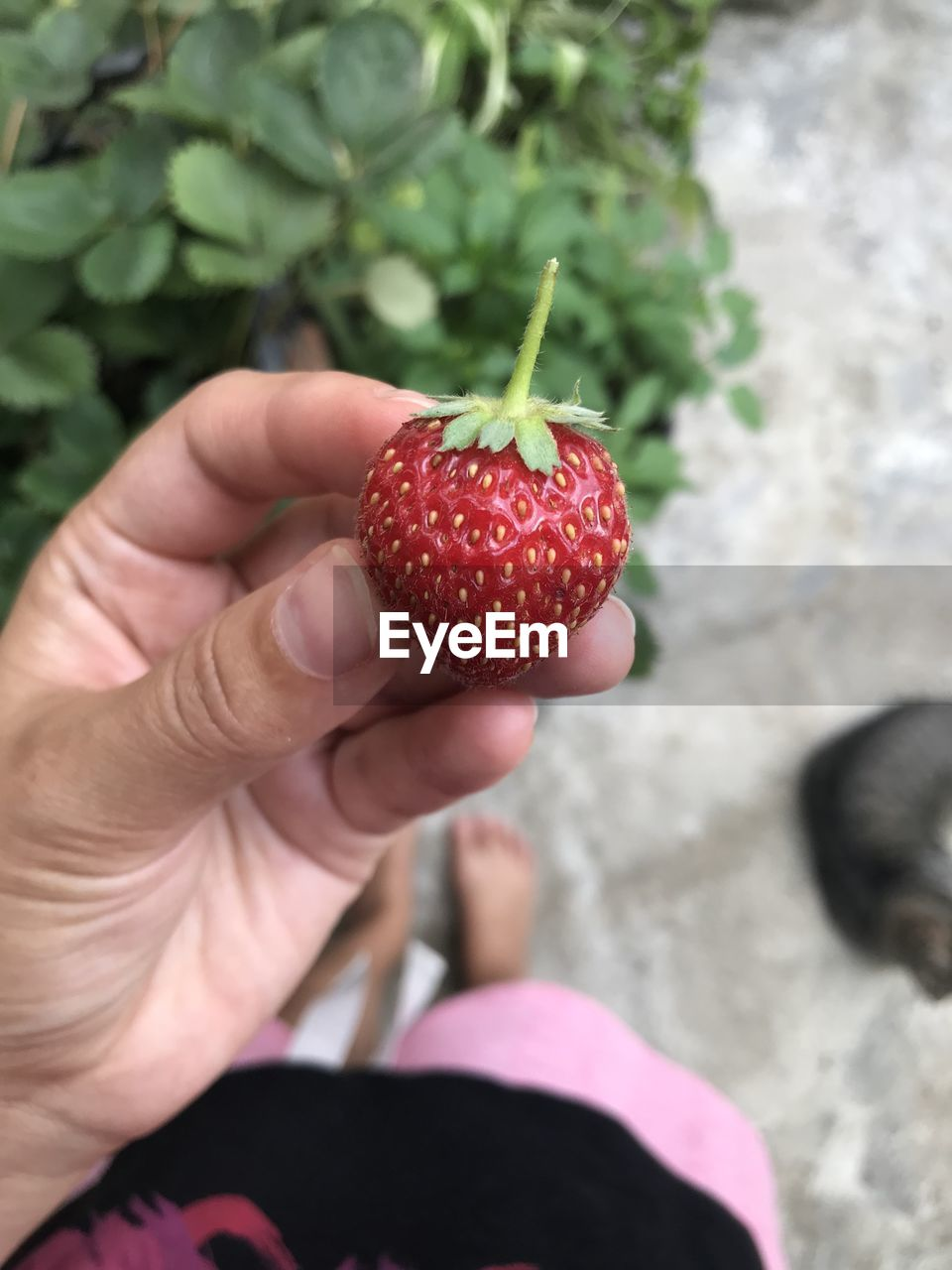 fruit, healthy eating, food and drink, human hand, food, hand, red, human body part, freshness, one person, wellbeing, strawberry, berry fruit, holding, focus on foreground, real people, body part, close-up, personal perspective, finger, ripe, temptation