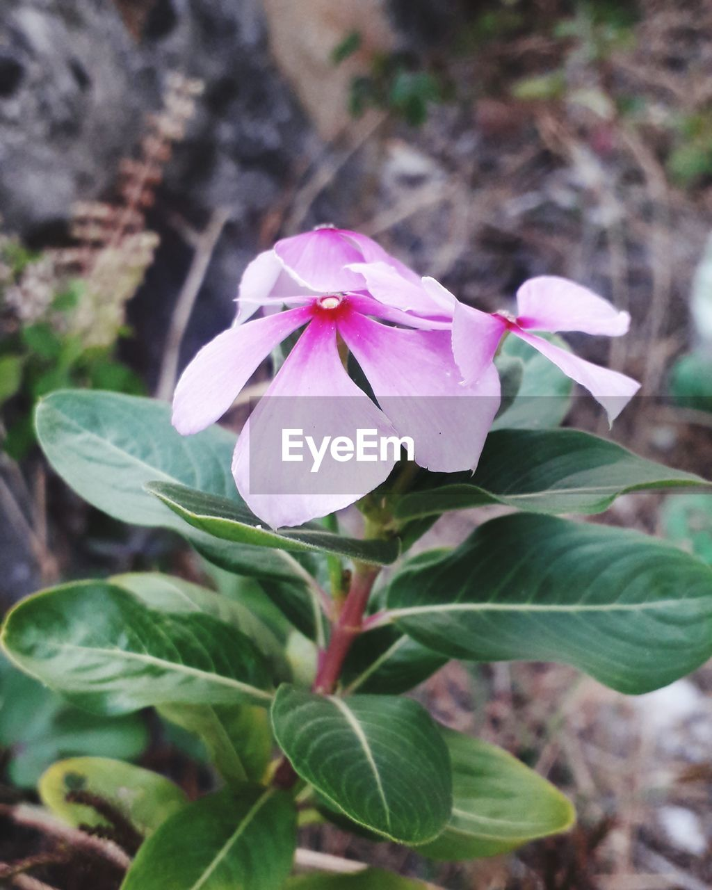 plant, leaf, plant part, beauty in nature, flowering plant, close-up, flower, growth, petal, fragility, vulnerability, freshness, flower head, inflorescence, nature, pink color, no people, day, focus on foreground, outdoors, purple