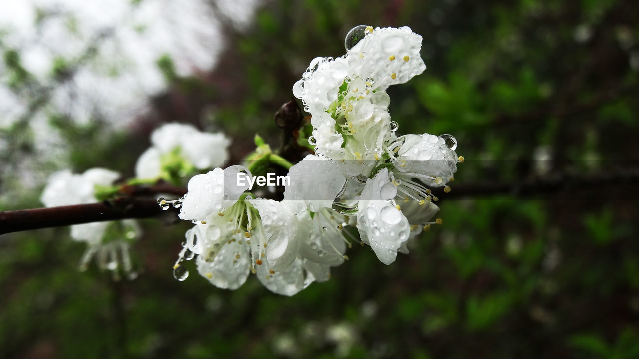 flower, white color, nature, fragility, focus on foreground, beauty in nature, blossom, growth, petal, close-up, no people, day, outdoors, springtime, freshness, flower head, blooming, tree