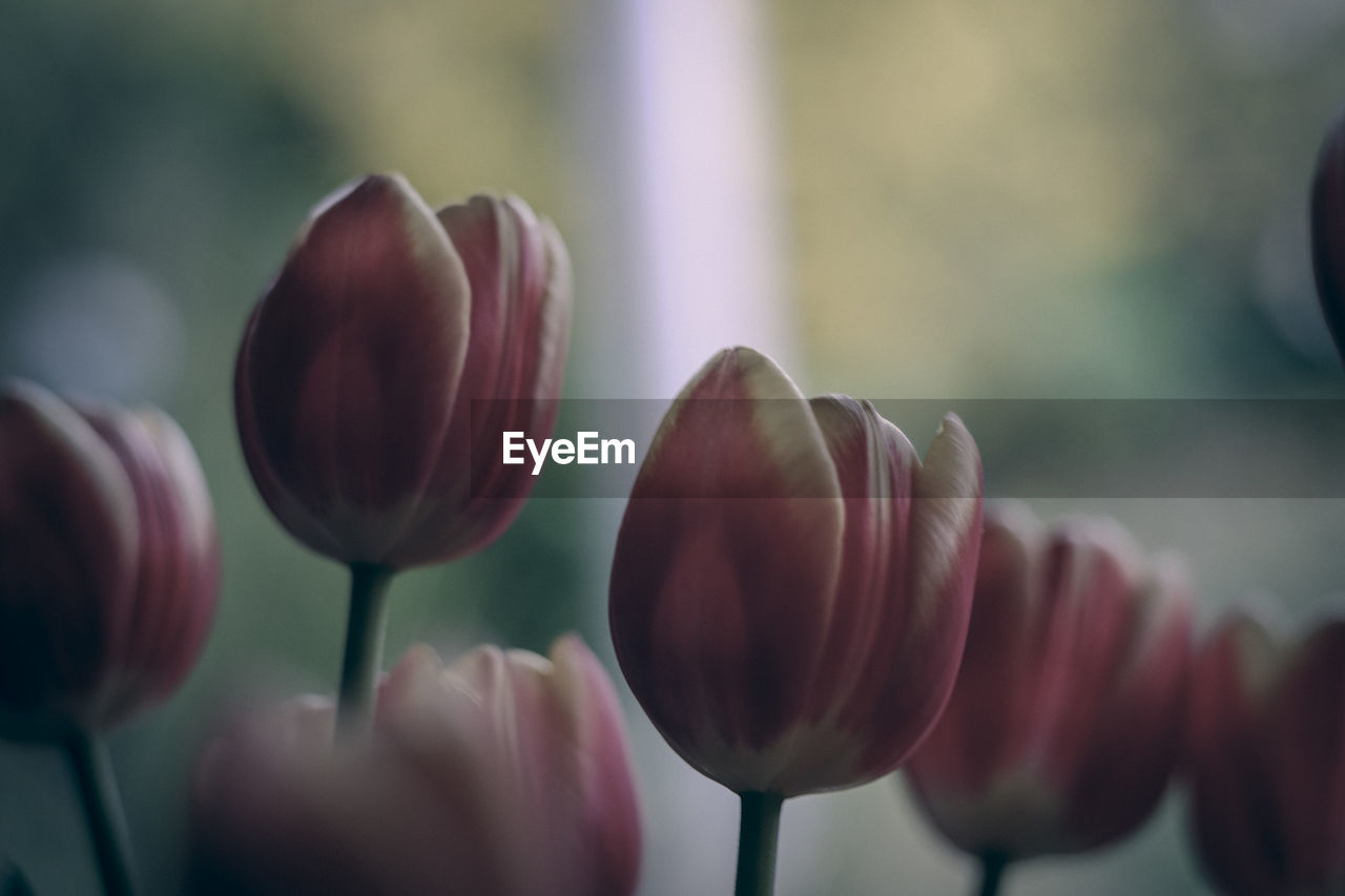flower, nature, beauty in nature, fragility, growth, petal, freshness, close-up, tulip, plant, day, outdoors, no people, flower head