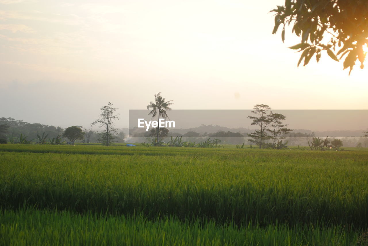 sky, beauty in nature, plant, scenics - nature, landscape, tranquility, tranquil scene, field, land, environment, growth, rural scene, tree, sunset, nature, green color, agriculture, grass, idyllic, no people, outdoors