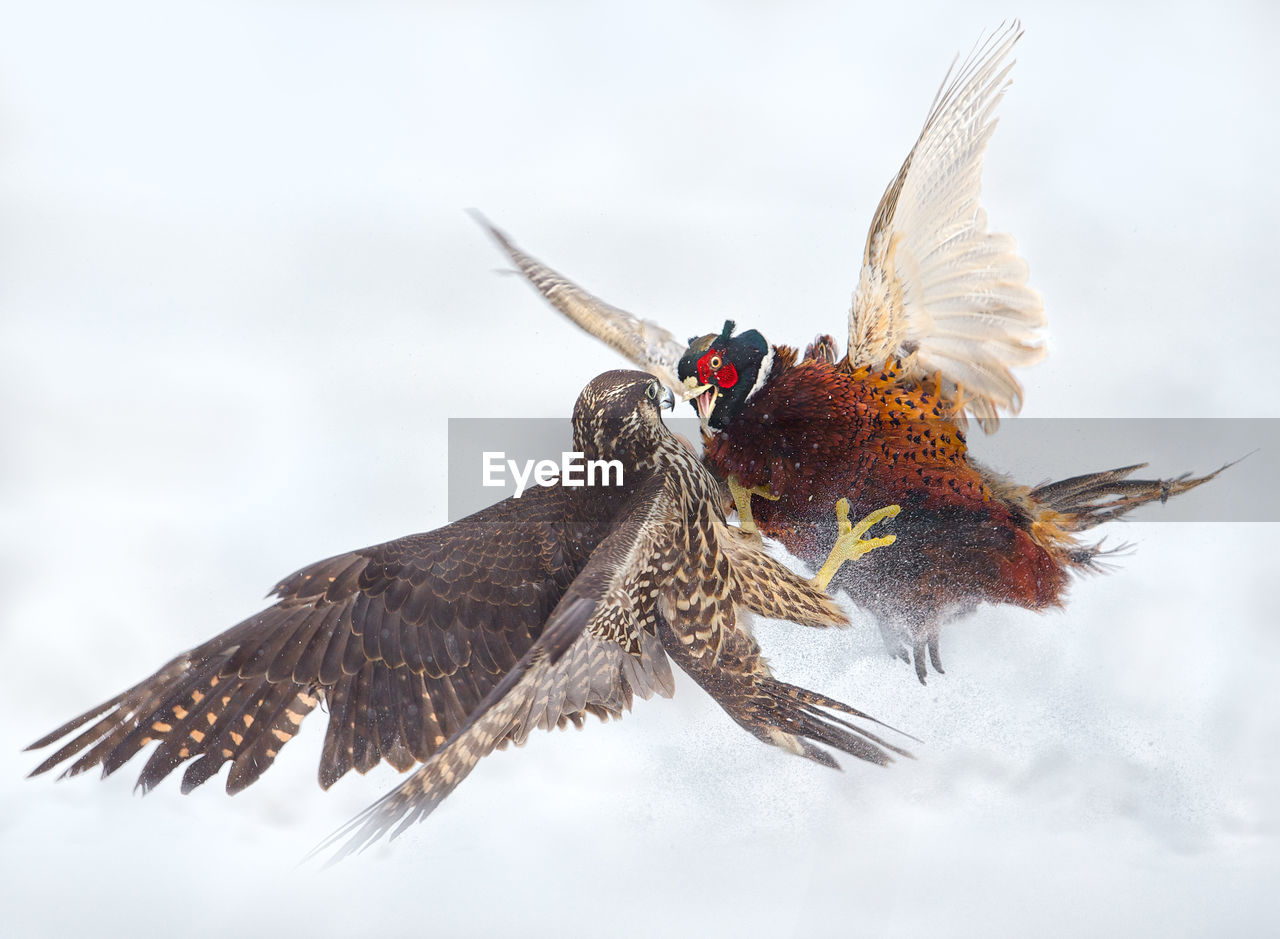 Peregrine Falcon And Pheasant Fighting In The Snow