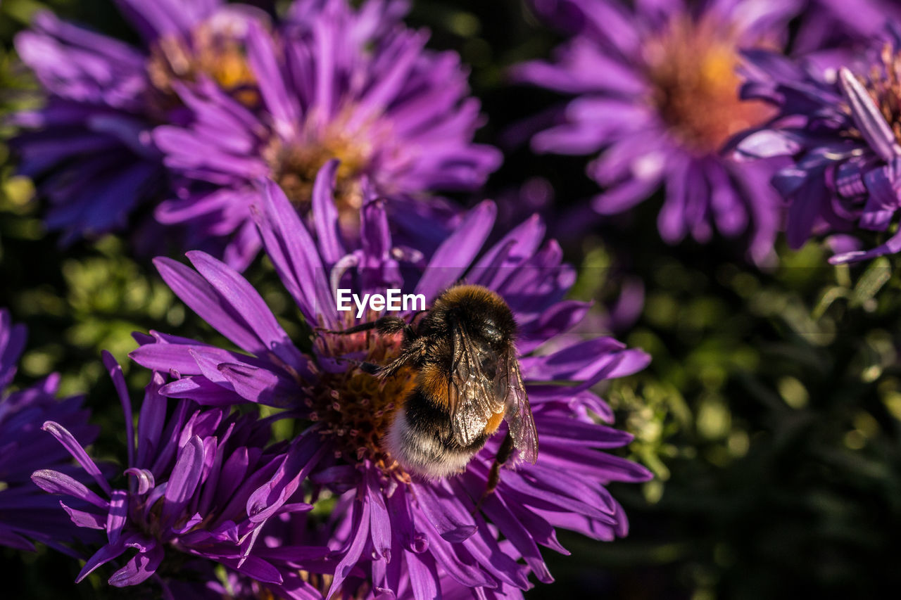flower, purple, insect, nature, fragility, growth, petal, one animal, plant, beauty in nature, freshness, pollination, bee, no people, flower head, animal themes, animals in the wild, outdoors, bumblebee, close-up, day, blooming