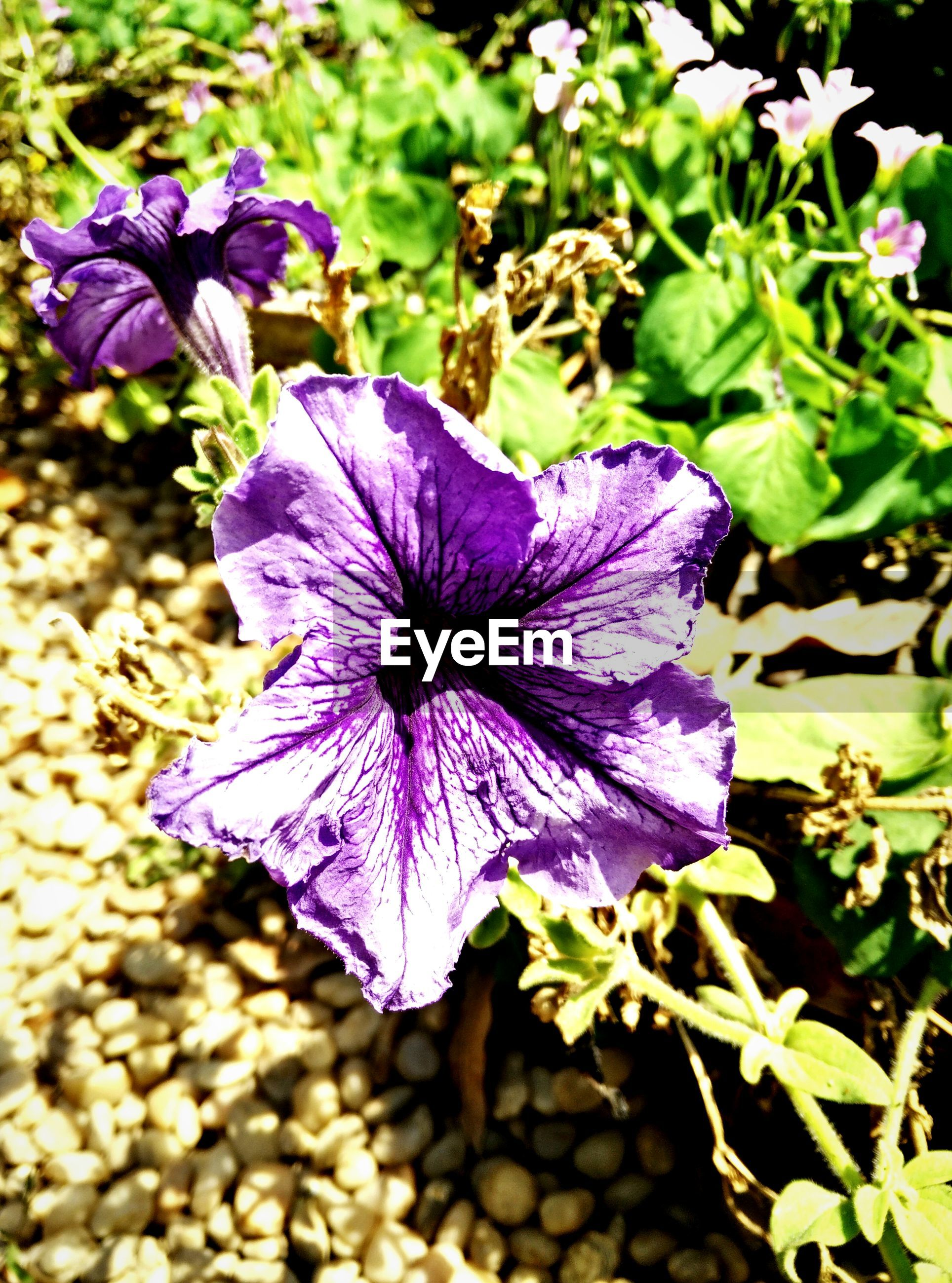 flower, purple, freshness, petal, flower head, fragility, growth, beauty in nature, close-up, blooming, nature, plant, in bloom, pollen, focus on foreground, high angle view, stamen, leaf, blossom, single flower