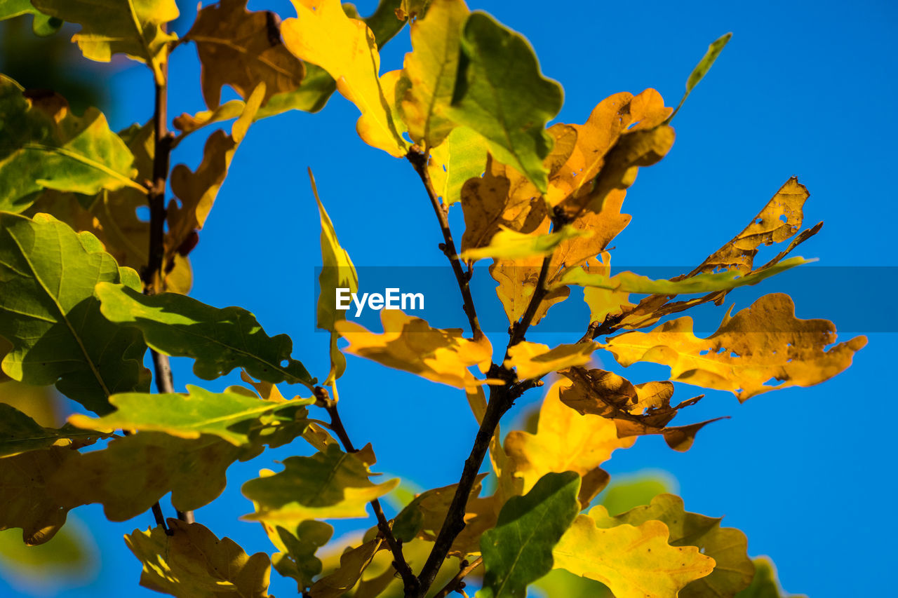 Low Angle View Of Yellow Tree Against Clear Blue Sky