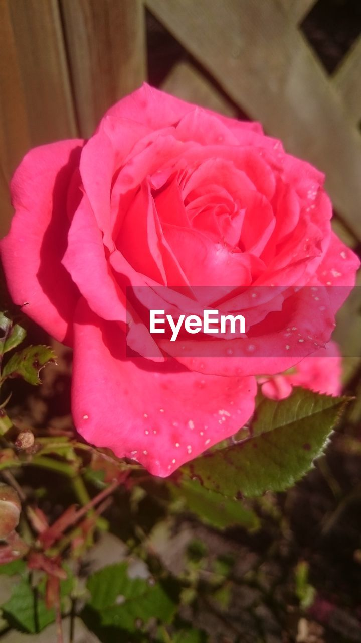 flower, petal, beauty in nature, growth, nature, fragility, pink color, flower head, rose - flower, freshness, no people, blooming, close-up, plant, outdoors, water, day