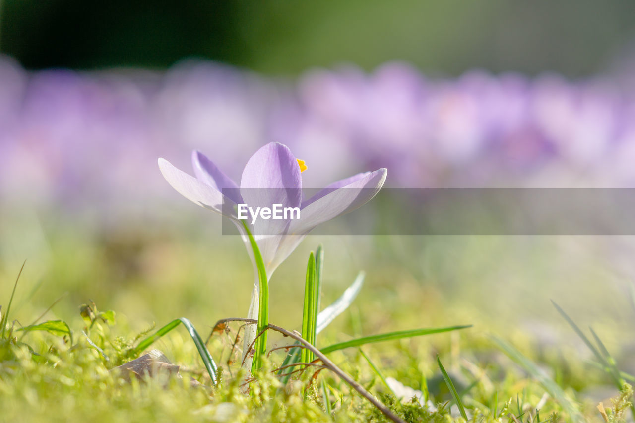 plant, flowering plant, freshness, growth, flower, fragility, beauty in nature, vulnerability, petal, land, crocus, field, selective focus, iris, close-up, purple, nature, grass, no people, day, flower head, outdoors, blade of grass
