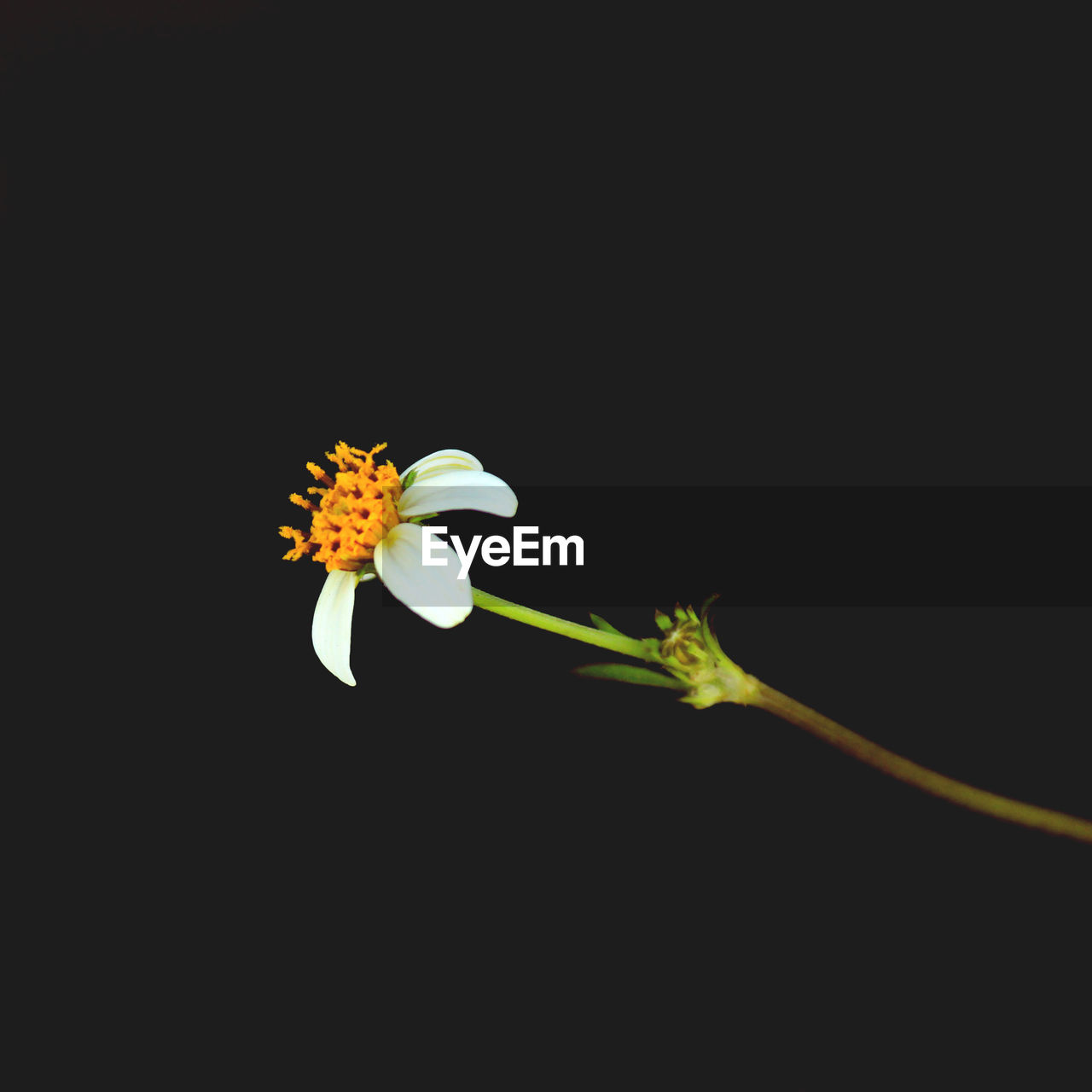 flowering plant, flower, vulnerability, fragility, petal, beauty in nature, plant, freshness, growth, flower head, inflorescence, close-up, studio shot, copy space, nature, no people, black background, pollen, yellow, night, outdoors