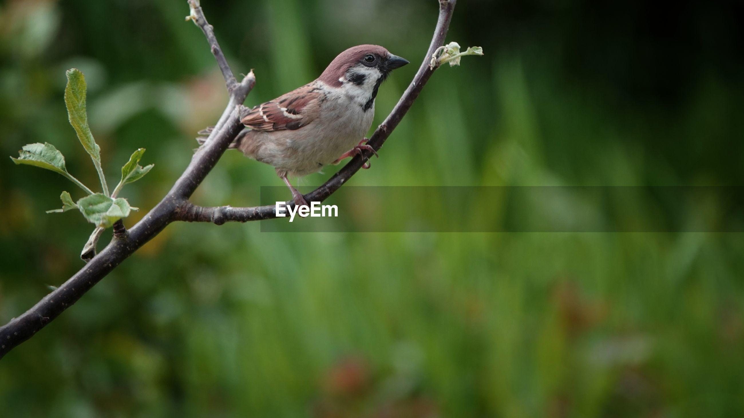 Sparrow on tree