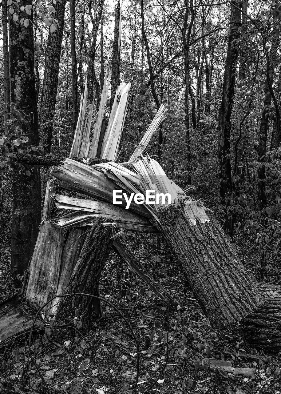 tree, tree trunk, nature, forest, wood - material, log, no people, outdoors, day, growth, branch, beauty in nature