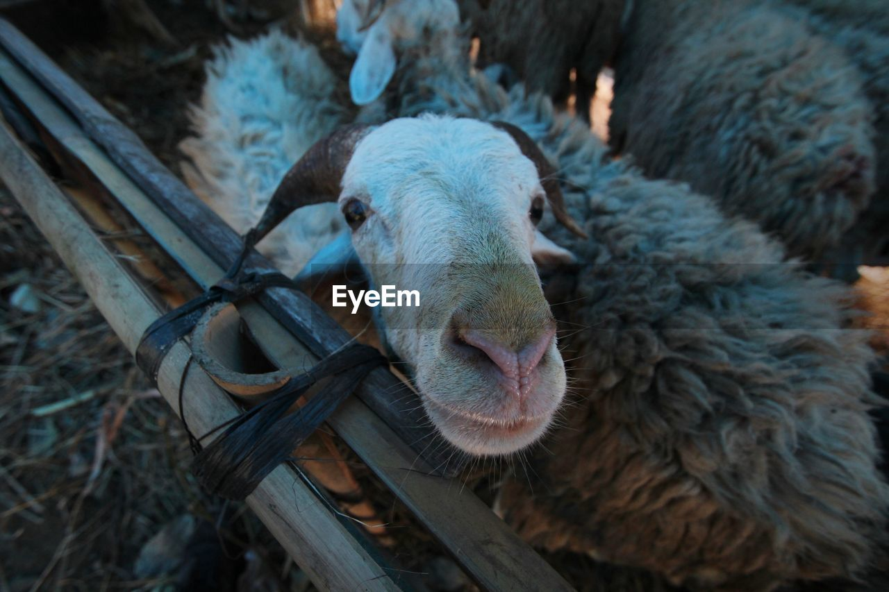 Close-Up Portrait Of Sheep In Pen