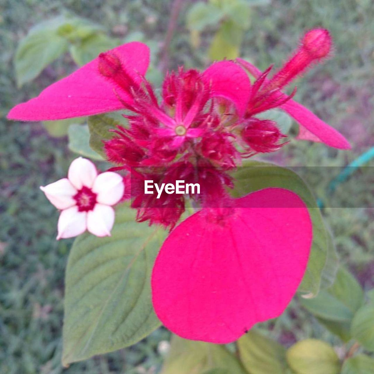 flower, pink color, petal, growth, fragility, leaf, beauty in nature, plant, nature, day, no people, close-up, freshness, flower head, outdoors, blooming, periwinkle