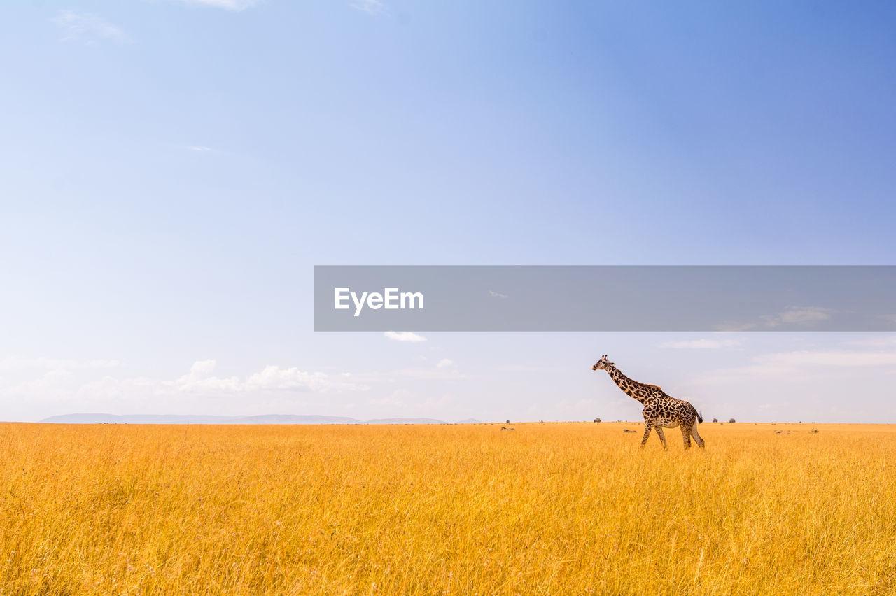 Scenic View Of Giraffe In Field