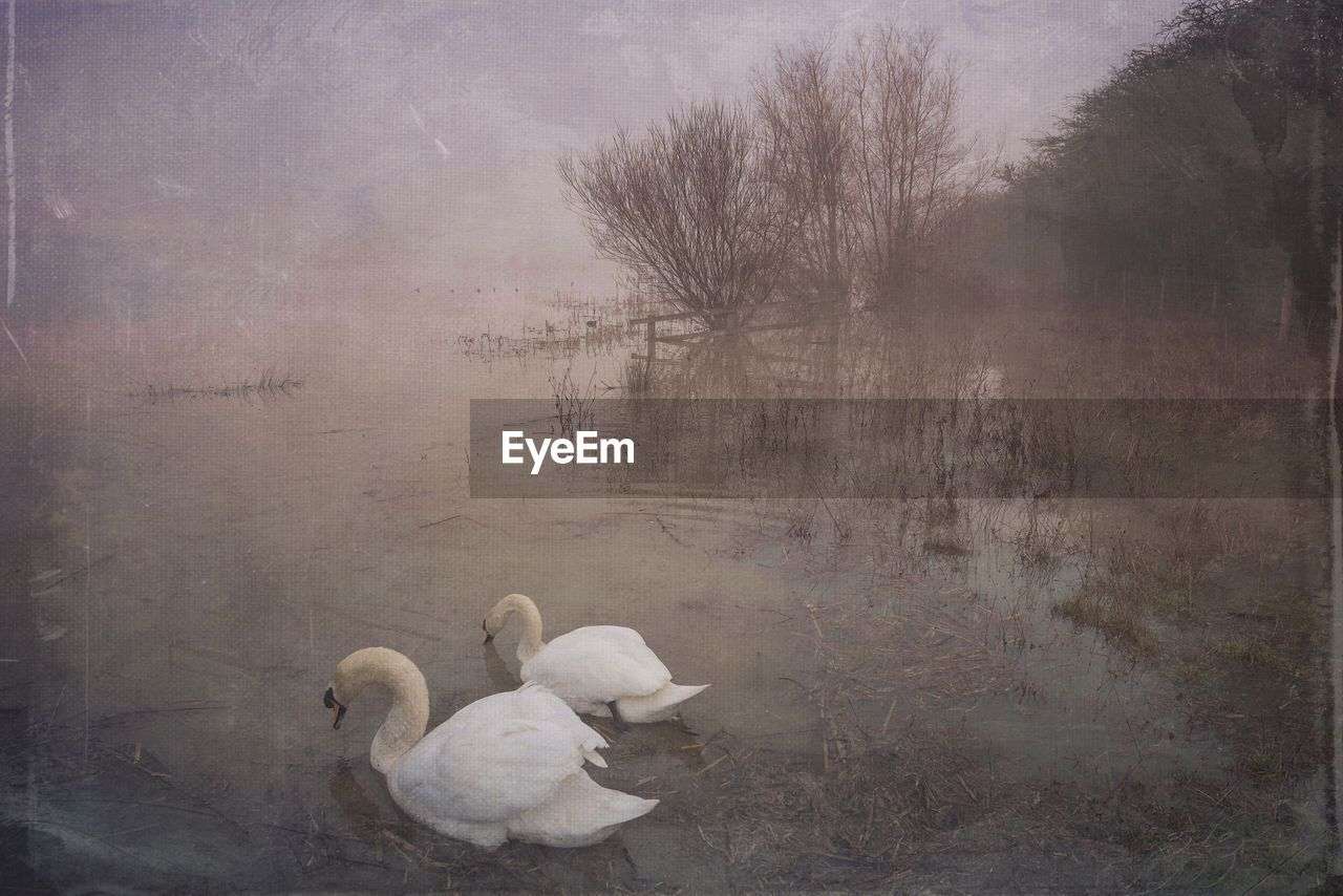 animal themes, nature, bird, no people, animals in the wild, swan, tree, day, lake, outdoors, tranquility, fog, beauty in nature, water, landscape, sky, mammal