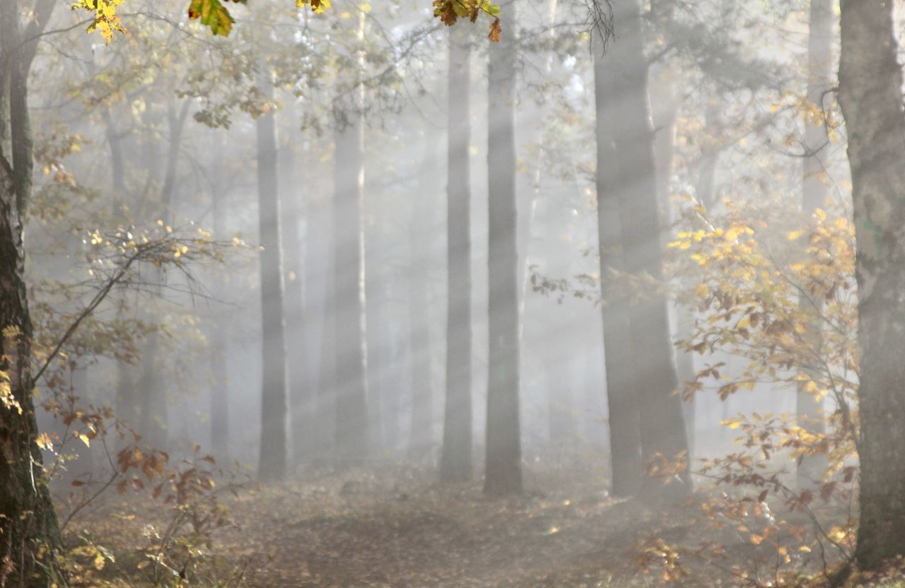 tree, forest, plant, land, tree trunk, trunk, nature, day, woodland, beauty in nature, tranquility, fog, no people, growth, tranquil scene, autumn, non-urban scene, outdoors, branch