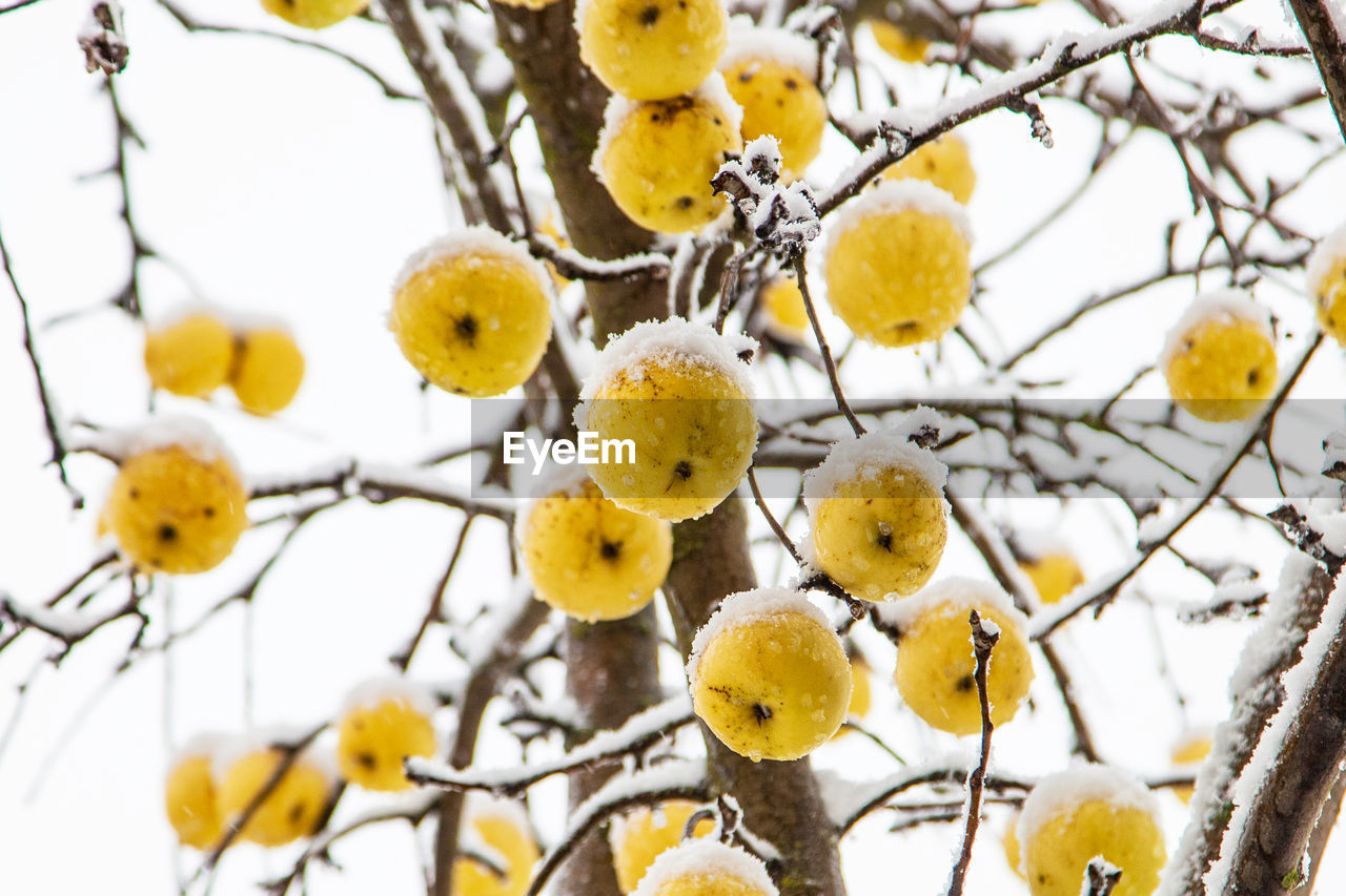 plant, growth, focus on foreground, yellow, tree, branch, no people, fruit, winter, day, nature, food, healthy eating, beauty in nature, close-up, food and drink, cold temperature, low angle view, snow, freshness, outdoors, ripe