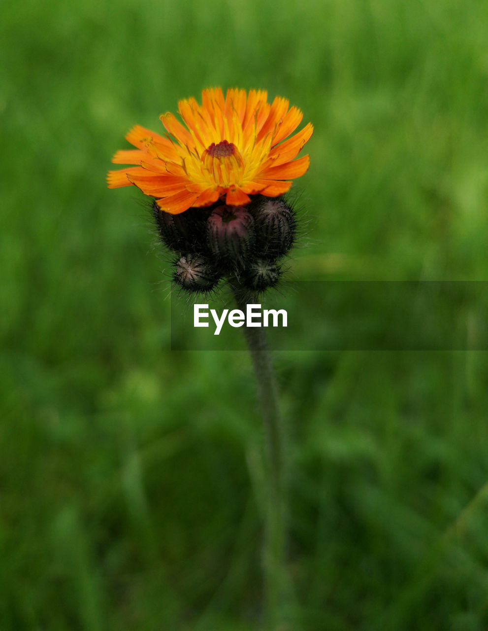 single flower Nature Nature Photography Fragile Nature Fragile Beauty Orange Color Summer ☀ Grass Flower Flower Head Close-up Plant Grass Green Color In Bloom Petal Plant Life Single Flower Stem Pollen