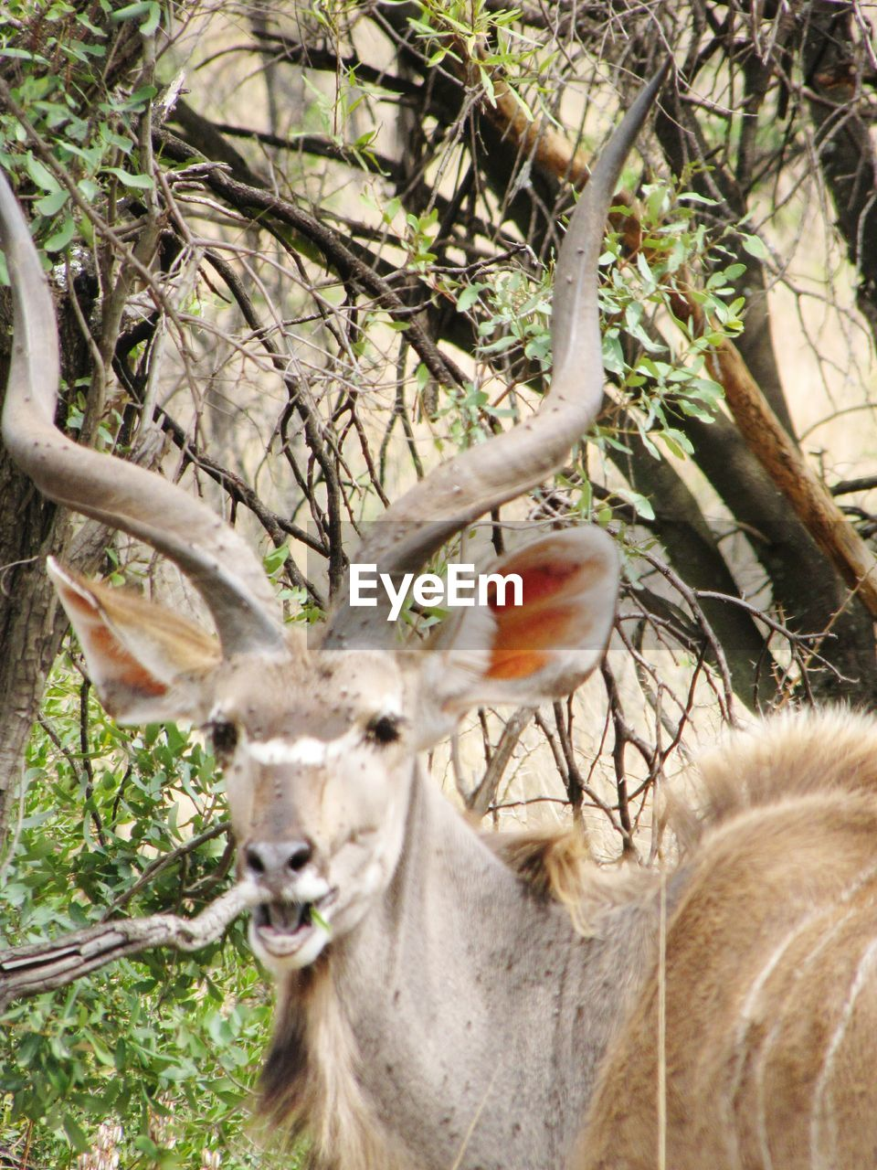 animal themes, tree, one animal, branch, day, no people, antler, mammal, animals in the wild, outdoors, nature, domestic animals, close-up
