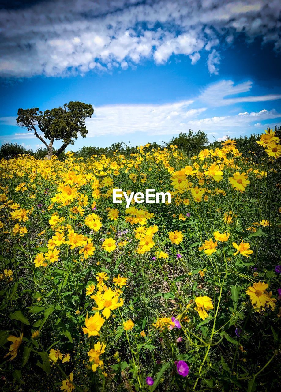 yellow, flower, plant, flowering plant, beauty in nature, growth, sky, field, freshness, cloud - sky, land, no people, tranquility, nature, landscape, fragility, scenics - nature, tranquil scene, vulnerability, day, outdoors, flower head, flowerbed