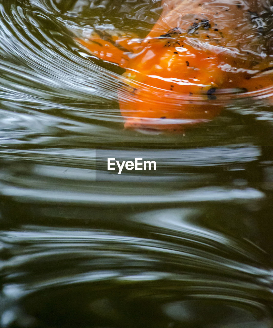 water, rippled, no people, lake, full frame, waterfront, nature, motion, close-up, day, orange color, outdoors, backgrounds, swimming, animal wildlife, animal, animals in the wild, reflection, high angle view, purity, marine