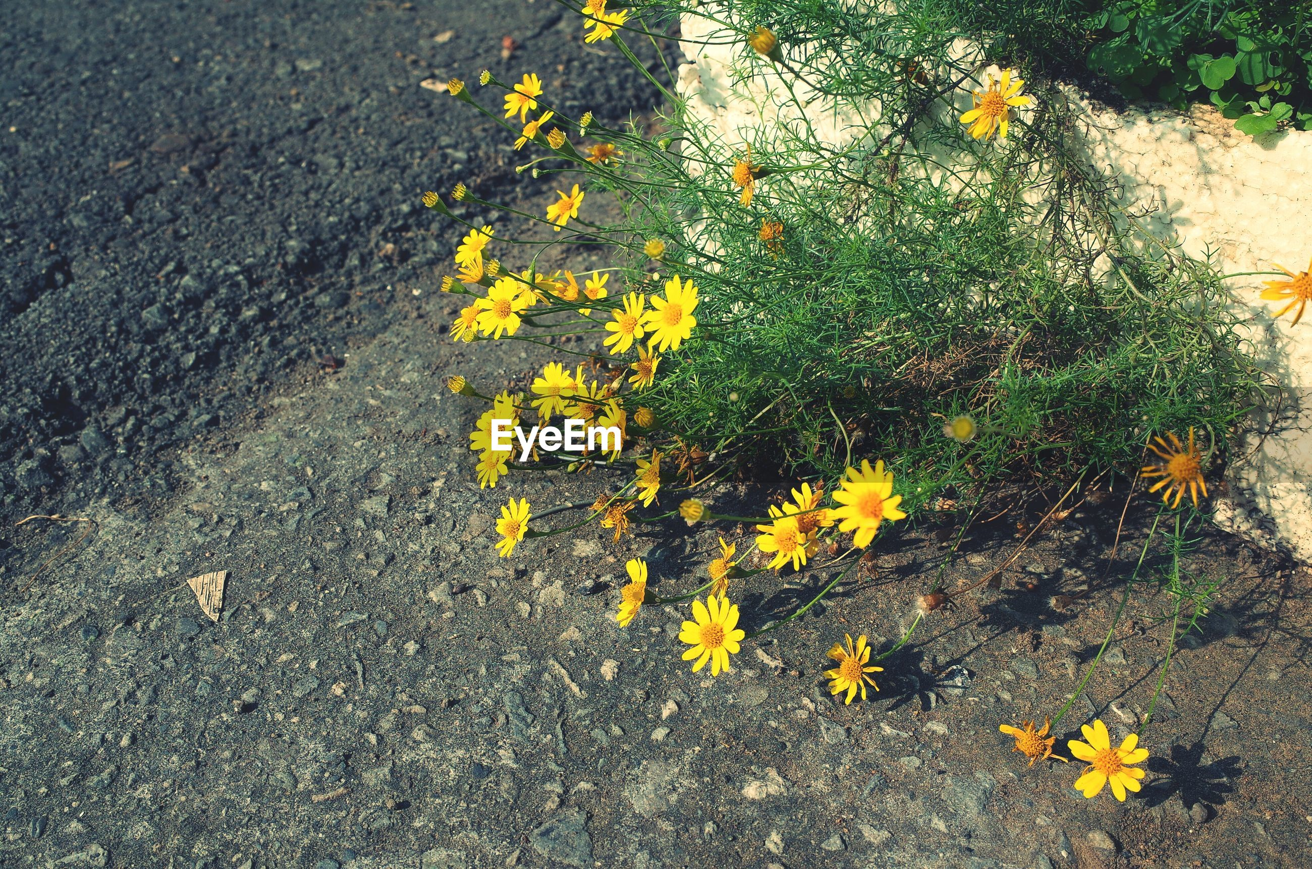 High angle view of yellow flowers blooming on street