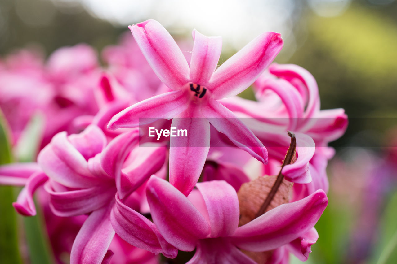 flower, petal, pink color, flower head, fragility, beauty in nature, nature, focus on foreground, freshness, growth, no people, close-up, day, blooming, plant, outdoors, periwinkle
