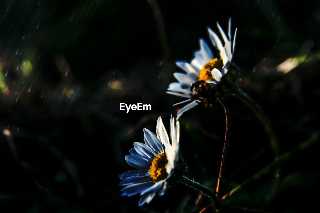Close-Up Of Daises Blooming At Morning