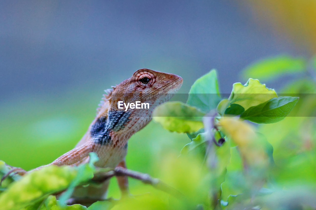 animal, animal themes, one animal, animal wildlife, animals in the wild, close-up, plant, vertebrate, plant part, nature, leaf, selective focus, reptile, lizard, no people, day, green color, focus on foreground, outdoors, animal body part, animal head