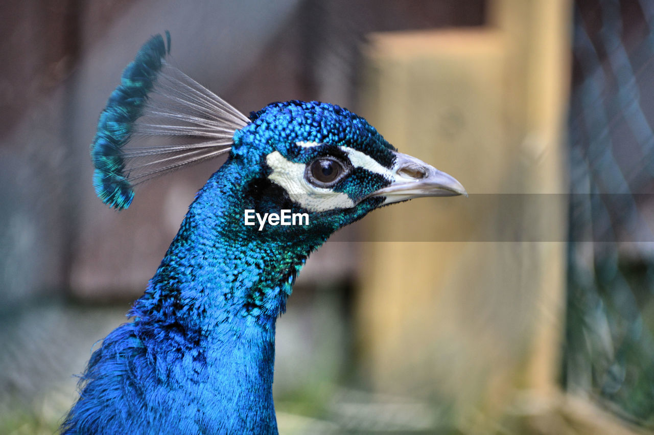 animal themes, animal, one animal, bird, vertebrate, focus on foreground, close-up, peacock, animal wildlife, blue, animals in the wild, animal body part, animal's crest, animal head, day, no people, nature, beak, outdoors, male animal, animal eye, profile view