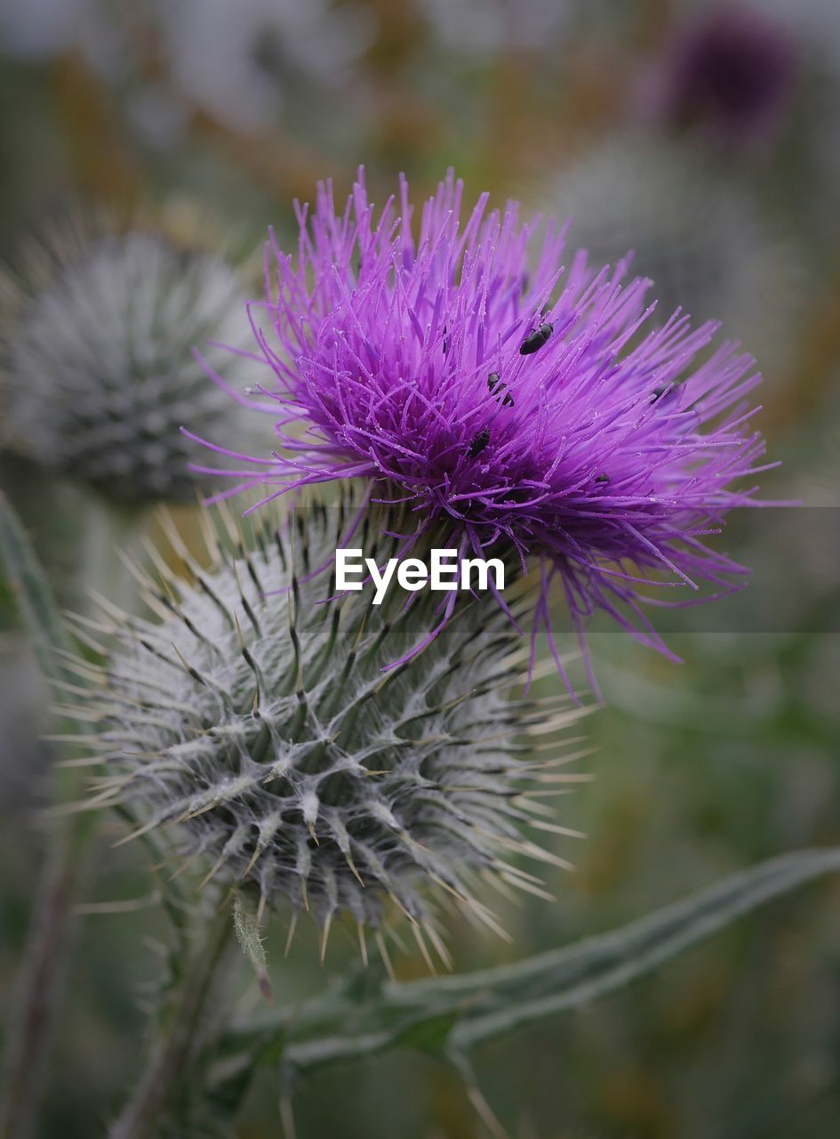 flower, flowering plant, close-up, plant, beauty in nature, fragility, vulnerability, growth, focus on foreground, thistle, freshness, flower head, inflorescence, purple, nature, no people, petal, day, outdoors, spiky