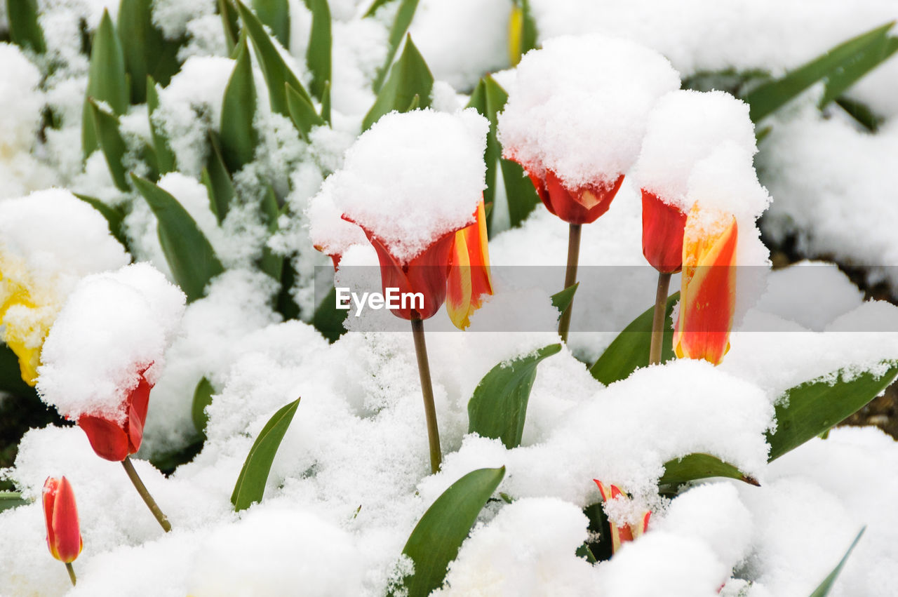 snow, cold temperature, winter, white color, nature, weather, frozen, freshness, ice, beauty in nature, no people, red, close-up, flower, growth, green color, plant, outdoors, fragility, day, flower head