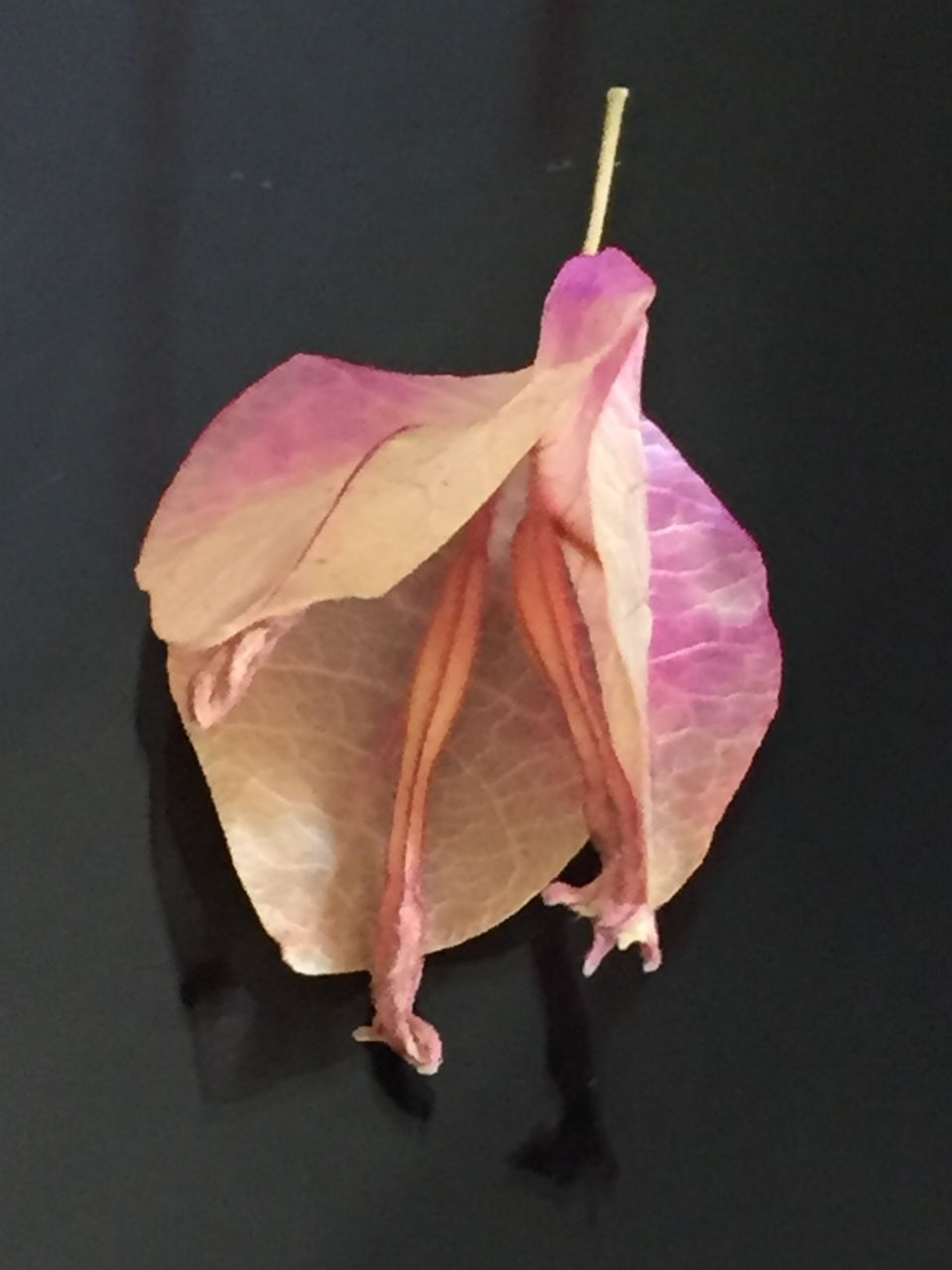 leaf, change, autumn, close-up, fragility, no people, day, pink color, outdoors, nature, beauty in nature