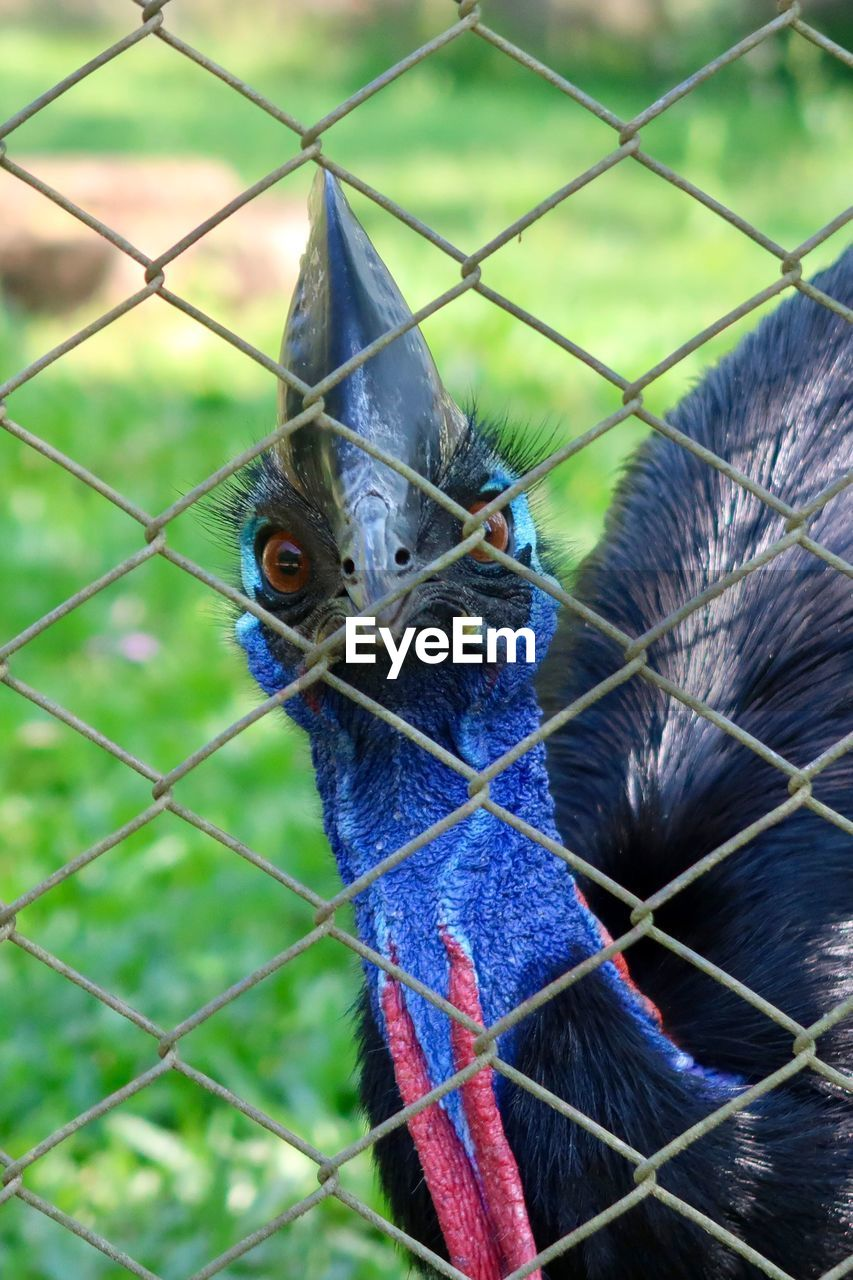 fence, animal, bird, animal themes, boundary, vertebrate, focus on foreground, barrier, chainlink fence, close-up, one animal, cage, no people, metal, animals in captivity, animal wildlife, animal body part, security, safety, day, beak, animal head, outdoors, zoo