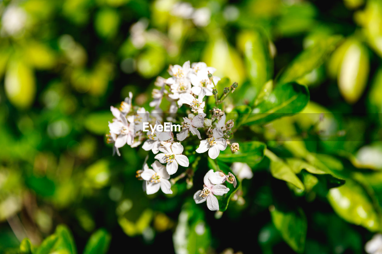 flower, flowering plant, plant, freshness, fragility, vulnerability, beauty in nature, growth, close-up, petal, nature, flower head, selective focus, day, no people, white color, inflorescence, focus on foreground, botany, green color