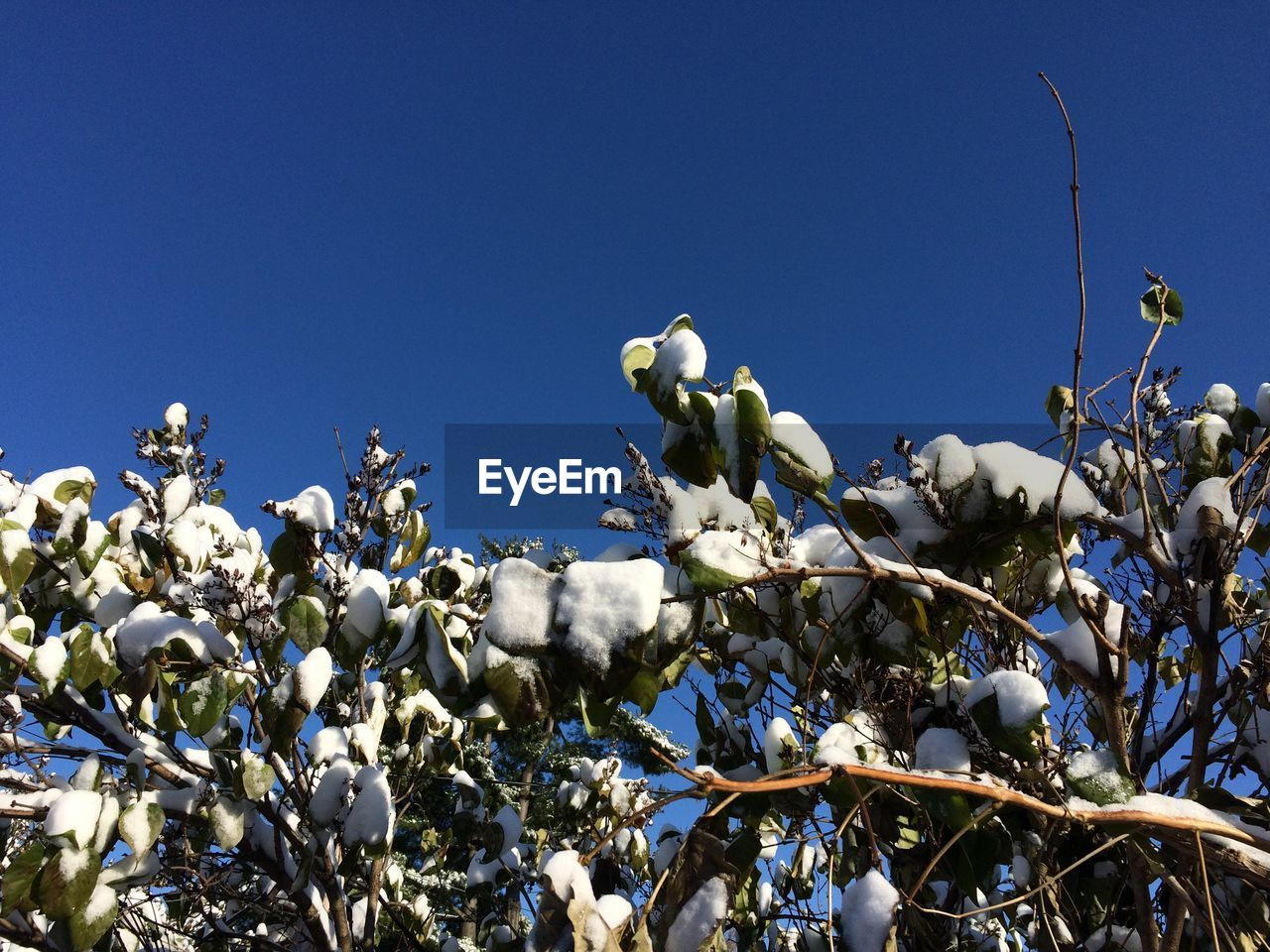 Low angle view of white flowering plants against clear blue sky