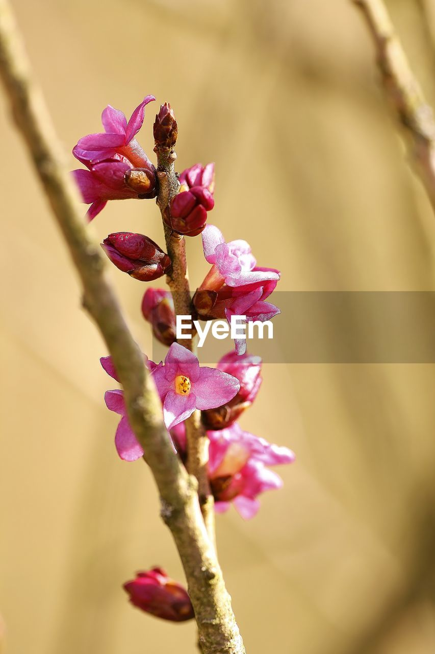 flower, fragility, beauty in nature, growth, pink color, nature, petal, freshness, no people, day, close-up, branch, flower head, outdoors
