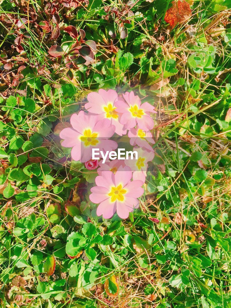 flower, nature, petal, flower head, beauty in nature, field, high angle view, growth, fragility, day, plant, freshness, blooming, no people, outdoors, green color, grass, close-up, zinnia, periwinkle