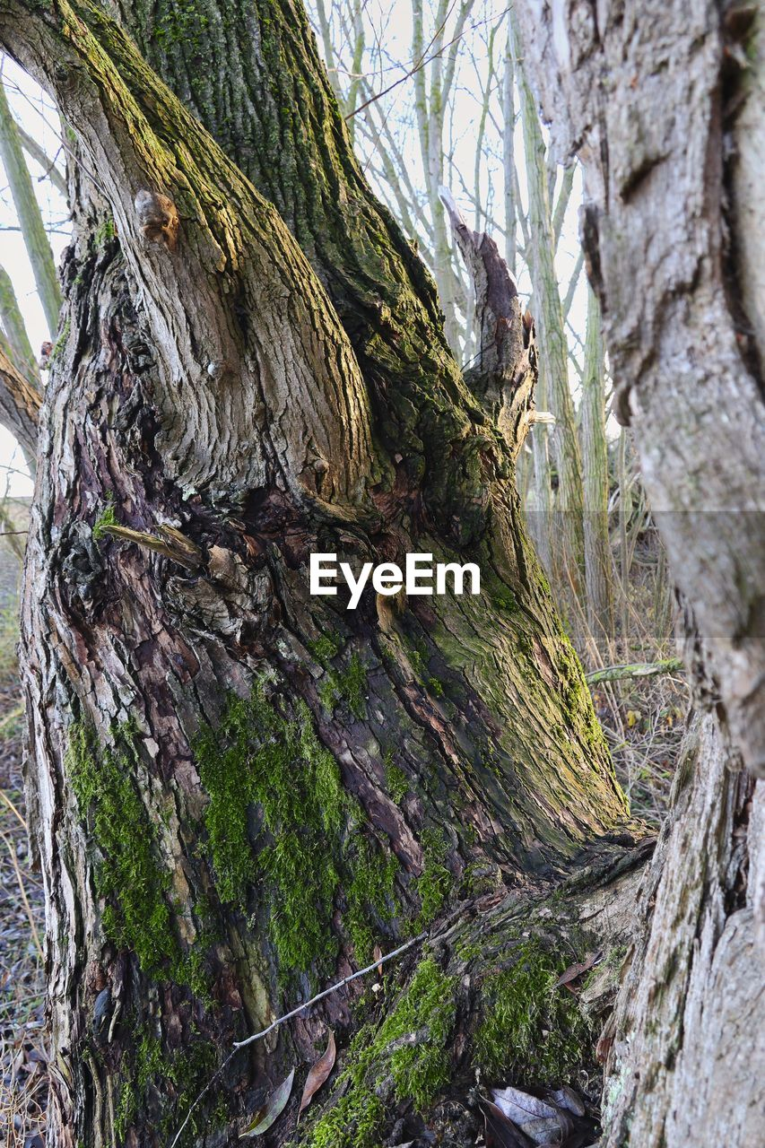tree, tree trunk, plant, trunk, day, no people, textured, growth, nature, bark, forest, rough, close-up, land, tranquility, outdoors, moss, beauty in nature, low angle view, focus on foreground, woodland