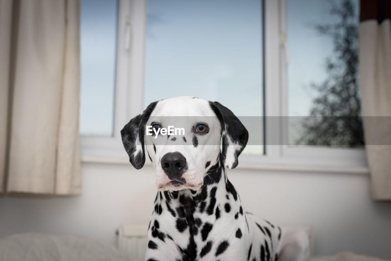 Portrait Of Dalmatian Dog At Home