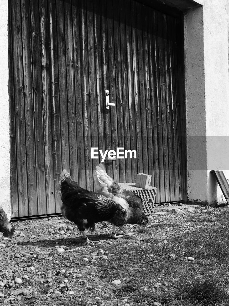 animal themes, domestic animals, door, one animal, day, outdoors, no people, chicken - bird, built structure, building exterior, livestock, bird, wood - material, mammal, architecture, pets, nature