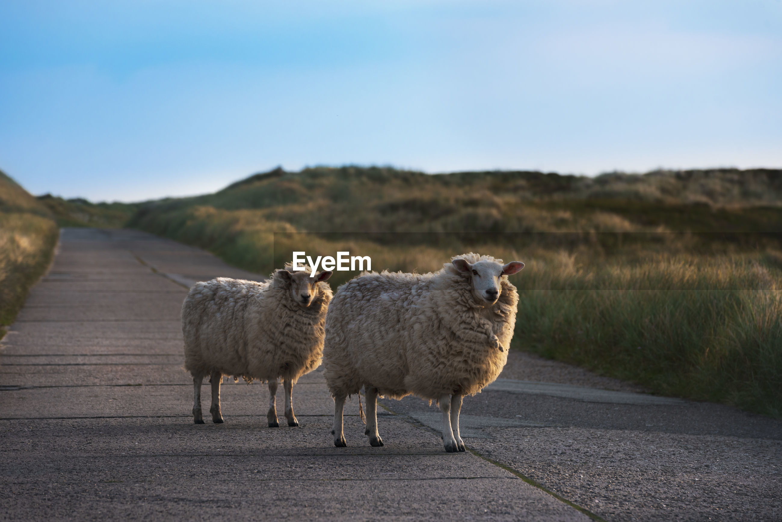 Sheep standing on road against blue sky