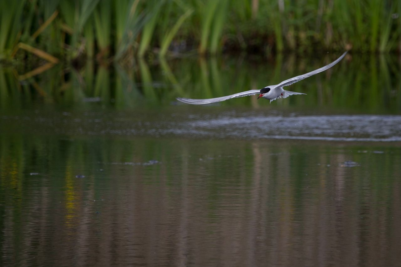 animal wildlife, animal themes, animals in the wild, water, animal, one animal, flying, reflection, vertebrate, waterfront, bird, lake, nature, no people, day, spread wings, plant, beauty in nature, mid-air