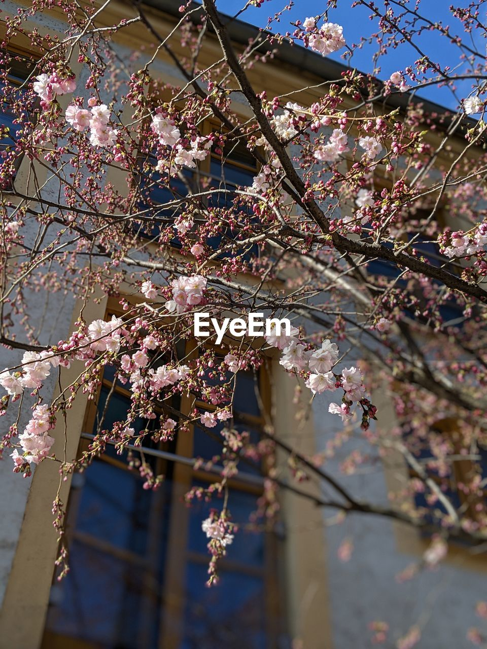 tree, flower, flowering plant, plant, branch, low angle view, blossom, springtime, growth, freshness, fragility, nature, vulnerability, cherry blossom, day, beauty in nature, building exterior, cherry tree, focus on foreground, no people, pink color, outdoors