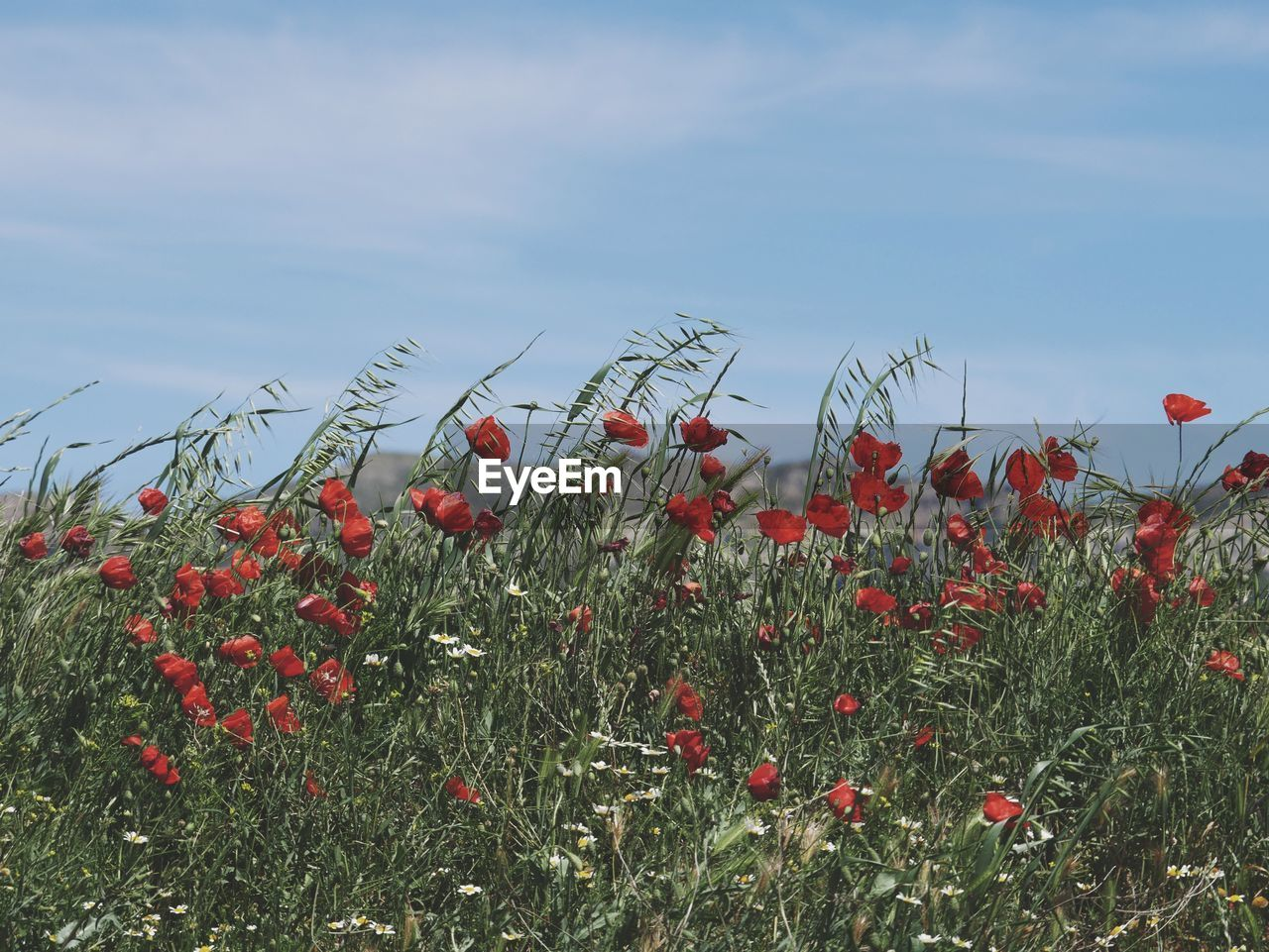 CLOSE-UP OF POPPY FLOWERS IN FIELD AGAINST SKY